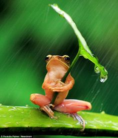 This tiny little frog was snapped clinging to a leaf to shelter from the rain in a downpour in Jember, East Java, Indonesia