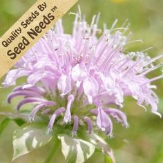 200 Seeds, Wild Bee Balm (Monarda fistulosa) Seeds By Seed Needs by Seed Needs: Flowers. $2.15. Plant Spacing: 20 - 30 inches. Bloom Season: Summer. Depth: Seeds must be covered thinly, no more than the thickness of the seed. Season: Perennial. Soil Type: Well-drained, pH 6.6 - 7.8. Deer Resistant: Yes. Bloom Color: Lavender. Temperature: 68F. Moisture: Keep seed moist until germination. Height: 30 - 60 inches. Light Required: Yes. Quality Bee Balm seeds packa...