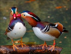 lori-rocks: Love comes in pairs! Two Birds, Love Birds, Beautiful Birds, Pretty Birds, N Animals, Animals Images, Cute Animals, Aquatic Birds, Duck Art
