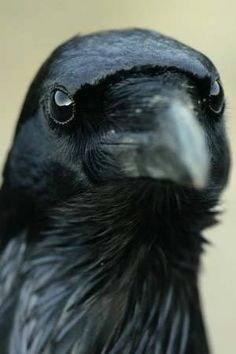 Raven -- This bird is very smart and is one of the only birds that you see flying upside down just for the fun of it. Photo by Steve Thomas All Birds, Birds Of Prey, Love Birds, Beautiful Birds, Animals Beautiful, Cute Animals, Black Animals, Regard Animal, Rabe Tattoo