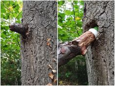 If you plan to hide a #geocache like this, make sure you do not hurt the tree; remember you can not damage trees to make a cache. You do not need much to replicate this hide, only a piece of branch, a hole in a tree, a container and a screw. Make sure to use the same type of branch as the tree or else it will be too obvious.