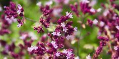 Benefícios, efeitos e propriedades do orégano - Origanum vulgare, planta medicinal também conhecida como orégão e muito utilizada como tempero.
