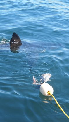 Gaansbaai shark cage diving