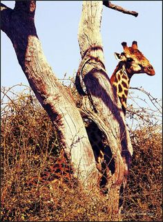 A giraffe tree :) Chobe, Botswana. Nature Scenes, Giraffe, Lens, Africa, The Incredibles, Memories, World, Animals, Memoirs