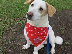 Bolt, a 3-year-old Jack Russell Terrier-Labrador-Dachshund mix who won our Collars & Kerchiefs photo contest.