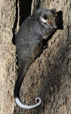 Common Ringtail Possum Gray Australian Animals