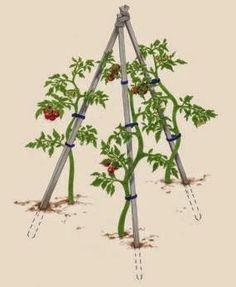 How to Support Tomatoes - Vegetable Gardener, some of the best tomato info I've ever read...
