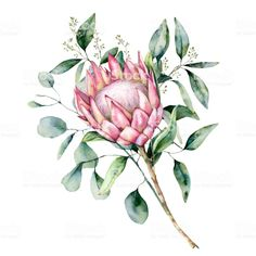 Watercolor protea bouquet with eucalyptus leaves. Hand painted pink flower with branch isolated on white background. Nature botanical illustration for design, print. Flor Protea, Protea Art, Protea Bouquet, Eucalyptus Bouquet, Protea Flower, Eucalyptus Leaves, Pink Bouquet, Watercolor Plants, Watercolor Paintings