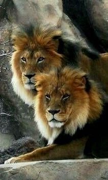 Amazing African Lions