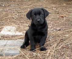Bianca the Labrador Retriever puppy - what a sweetie!