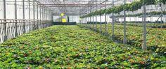 Φυτώρια AthensPlants - Παραγωγή καλλωπιστικών φυτών