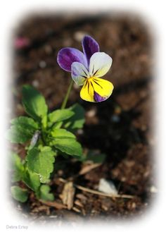 "Flower by Debra Estep ... Viola or nickname ""Johnny Jump-Ups"""