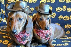 These are my mini dachshunds as Sheriffs from last Halloween. They just turned 2 and they are from the same litter. They love to dress up.