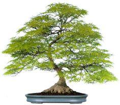 bonsaitoday:  Japanese Maple AcerPalmatum Dissectum, Bonsai Today #84, Cover