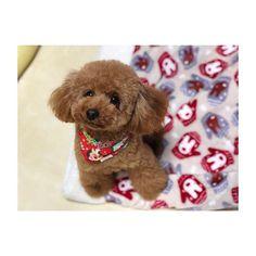 . . トリミング✂️したては、 ほんとにお人形さん🐻みたい😊❤️ . . #coto #family #愛犬 #pet #love #トイプードル #成長記録 #camera #cute #犬バカ部 #dog #smile #happy #だいすき #poodle #good #picture #お気に入り #かわいい #ラインスタンプ #写真撮ってる人と繋がりたい #カメラ女子 #カメラ好きな人と繋がりたい #west_dog_japan #カメラ #カメラ女子