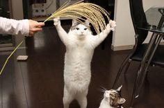 二足歩行な猫達 14|ねこLatte+