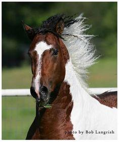 Curly Horse | Bashkir Curly Horses | American Bashkir Curly | Stag Creek Farm Curly Horses