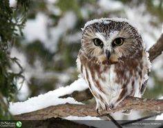 Nature Conservancy ‏@nature_org  · 33  We just can't resist reviving #SuperbOwlSunday, made popular by @StephenAtHome. Now here's a superb owl...