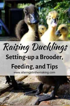 Raising ducklings is much easier than raising chicks! Ducklings require a few simple items, a waterer and feed to thrive, and duck brooder with heat. Raising Farm Animals, Raising Ducks, Raising Chickens, Backyard Ducks, Chickens Backyard, Backyard Poultry, Backyard Ideas, Pet Ducks, Baby Ducks