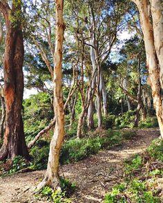 A walk on the wild side 💚🌿🌾 . . . #gumtrees #teatreebay #noosanationalpark #noosanationalparkcoastalwalk #boardwalk #visitnoosa…
