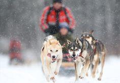 randonnée en traineau à chiens sur le lac gelé et enneigé de l'auberge du lac taureau