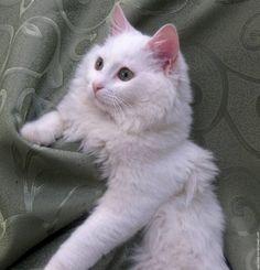 Gato Angorá branco                                                                                                                                                                                 Mais