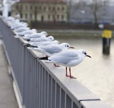 Seagulls, ATTACK FORMATION!