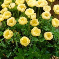 Tarhakullero Cheddar Cheddar, Perennials, Outdoor Gardens, Home And Garden, Yellow, Spring, Nature, Flowers, Plants