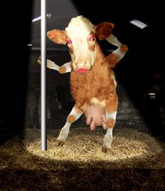 funny cows dancing - Google Search