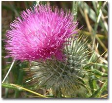 Craft and Other Activities for the Elderly: Twenty Questions - General Knowledge Quiz! Flowers Nature, Beautiful Flowers, Heather Hills, Knowledge Quiz, History Online, Scottish Thistle, Irish Celtic, Perfect World, British Isles
