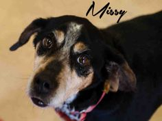 Meet MISSY a Petfinder adoptable Bluetick Coonhound Dog | Pittsburgh, PA | MEET MISSY!!- She is an Easy Going Girl with a Pleasant Personality!  She's oh so sweet and loves...