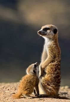My oldest grandson loves meerkats! Looks like the little one is saying...please mom.