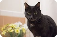 Staten Island, NY - Domestic Shorthair. Meet Nicholas, a cat for adoption. http://www.adoptapet.com/pet/14930396-staten-island-new-york-cat