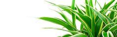 Rönsylilja hoito. Näillä hoito-ohjeilla ja kasvastusvinkeillä rönsyliljasi voi hyvin.