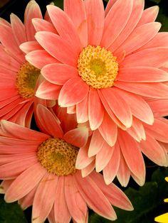 Peach Gerberas, these were my wedding flowers for my bridesmaids. Types Of Flowers, My Flower, Beautiful Flowers, Margaritas Gerbera, Gerber Daisies, Orange Flowers, Planting Flowers, Flower Arrangements, Wedding Flowers