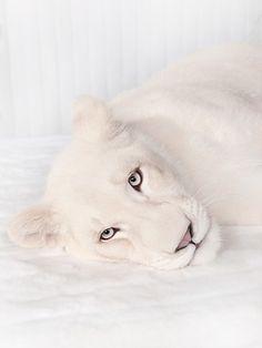 White lioness - ©Jean-Pierre Collin - www.jeanpierrecollin.com pinned with Bazaart