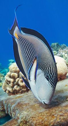 This was just labeled Surgeonfish - don't know what kind but pretty cool looking.