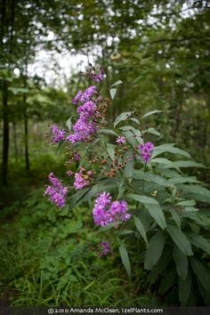 Vernonia gigantea (giant ironweed)