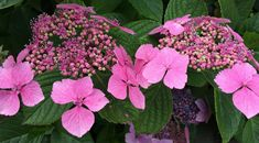 LACECAP HYDRANGEA CARE – PRUNING AND DEADHEADING