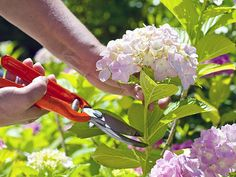 Find out when to prune hydrangeas and how to do it to get them looking their best with this expert pruning advice When To Prune Hydrangeas, Types Of Hydrangeas, Pruning Hydrangeas, Smooth Hydrangea, Hydrangea Flower, La Reproduction, Climbing Hydrangea, Hydrangea Paniculata, British Garden