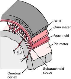 Las meninges son las membrans que recubren el cerebro y la medula espinal, estas son tres capas ( duramadre, aracnoide y piamadre) entre la capa aracnoide y piamadre existe un espacio que se llama espacio aracnoideo por donde circula el Líquido Cefalorraquídeo,