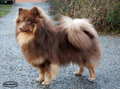 Liver & Tan colored German Mittelspitz - love this color!