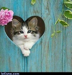 Kitten peaking through heart shaped cut out in blue fence. - Give your friends a smile: share this!