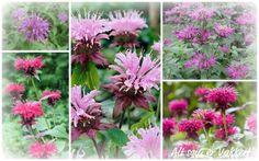 Inspiration By Helene: Planter til skyggebed: Hestemynthe (Monarda) er en duftende staude som finnes fra lys lilla til orange. Det er egentlig en urt. Den blomstrer i juli-august. Og trives i skygge. Jeg har Hestemynte i skyggebedet - i rosa/lillatoner.