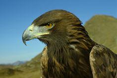 Model #9 Bald Eagle, Artsy, Bird, Model, Animals, Golden Eagle, Alps, Stones, Animales