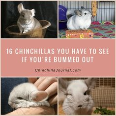 16 Chinchillas You Have To See If You're Bummed Out