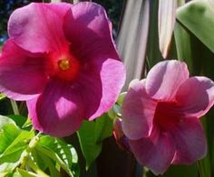 Fotos de flores: Alamandas-roxas