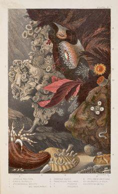 Philip H. Gosse, 1860, Actinologia britannica.