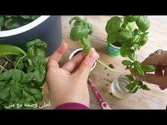 زراعة الريحان او النعناع فى كوب ماء بنجاح وسهولة Youtube Agriculture Plants Vegetables
