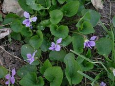 Remember these beauties growing in the woods in springtime!!! Purple WILD VIOLETS.